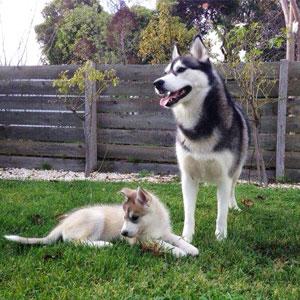 Husky Dog Breeder in Melbourne, Victoria | HUSKY'S 'R' US