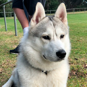 Husky Dog Breeder in Melbourne, Victoria | HUSKY'S 'R' US
